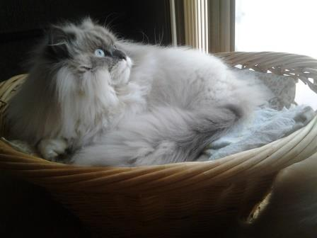 20130428 162944 Pictures of Ragdoll Cats in Laundry Baskets