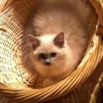 Blu is a Blue mitted mink (5 mo, 1 week old) Owned by Donna More
