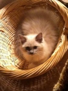 Blu is a Blue mitted mink Owned by Donna More 224x300 Pictures of Ragdoll Cats in Laundry Baskets