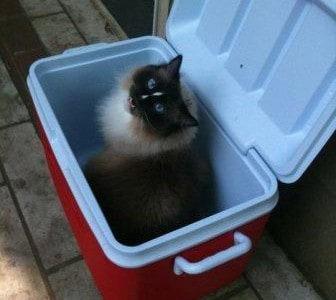 Ragdoll Cats Meowing