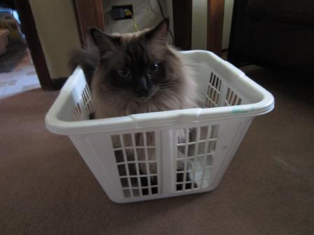 Cooper in a Laundry Basket loved by Jeff Jancek Pictures of Ragdoll Cats in Laundry Baskets