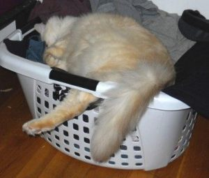 Dexter in a Laundry Basket 300x255 Pictures of Ragdoll Cats in Laundry Baskets