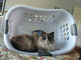Pictures of Ragdoll Cats in Laundry Baskets