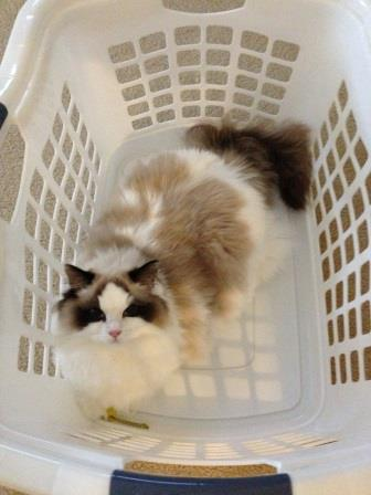 Khaleesi expects the laundry to be done Pictures of Ragdoll Cats in Laundry Baskets