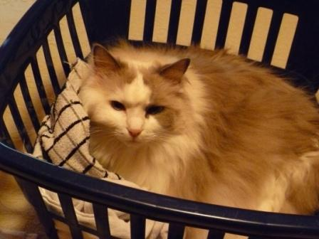 Miss Tessa says the Downy is extra soft Pictures of Ragdoll Cats in Laundry Baskets