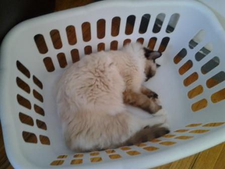 Mr. Darcy in the laundry basket owned by Mika Pictures of Ragdoll Cats in Laundry Baskets