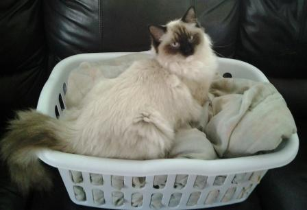 Mr. Darcy in the laundry basket owned by Mika2 Pictures of Ragdoll Cats in Laundry Baskets