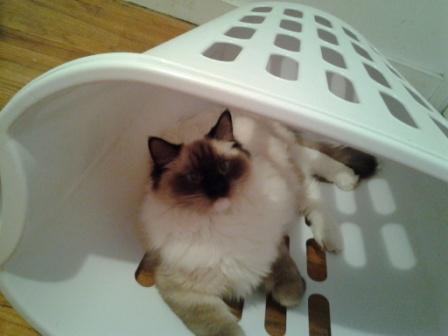 Mr. Darcy in the laundry basket owned by Mika3 Pictures of Ragdoll Cats in Laundry Baskets