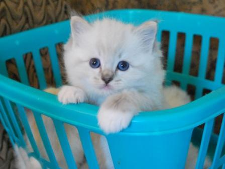 Raggtown Armani owned by Sandy Wuerch Pictures of Ragdoll Cats in Laundry Baskets