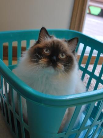 Raggtown Cleocatra owned by Sandy Wuerch Pictures of Ragdoll Cats in Laundry Baskets
