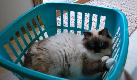 Raggtown Cleocatra owned by Sandy Wuerch2 Pictures of Ragdoll Cats in Laundry Baskets