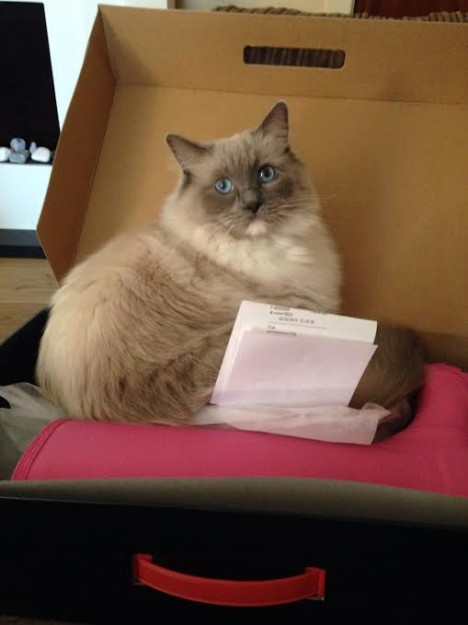 Rosie the Ragdoll from the UK owned by Michelle