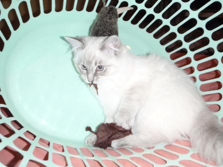 Schiska in a Laundry Basket owned by Sharon de Vos Pictures of Ragdoll Cats in Laundry Baskets