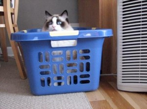 Simon owned by Pamela 300x224 Pictures of Ragdoll Cats in Laundry Baskets