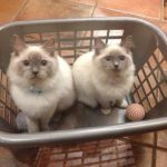 'Teddy and Mitzi in a laundry basket' (aged 7 months) loved by Sylvia