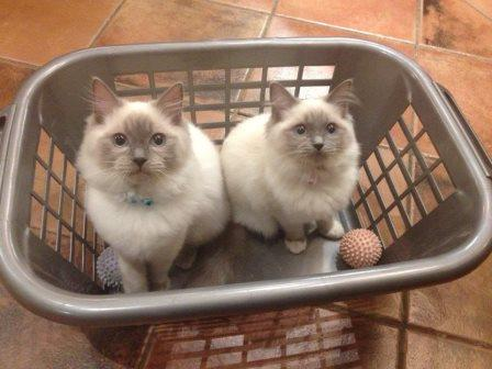Teddy and Mitzi Pictures of Ragdoll Cats in Laundry Baskets