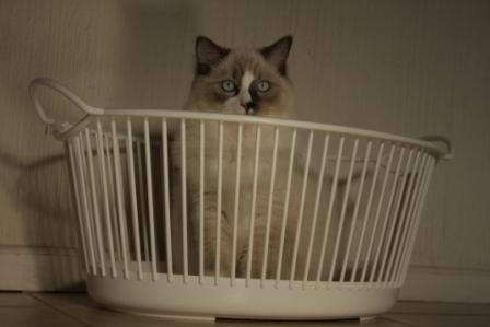 Theo in a Laundry Basket by Giuliana Stuber Pictures of Ragdoll Cats in Laundry Baskets