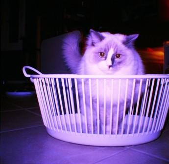 Theo in a Laundry Basket by Giuliana Stuber2 Pictures of Ragdoll Cats in Laundry Baskets