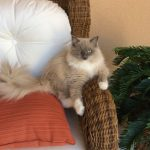 Whazz-up Cat Poses: Pictures of Ragdoll Cats in Compromising Positions
