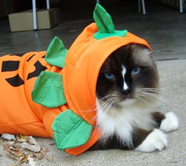 Charlie in Kmart Cat Halloween Costume - Totally Ghoul Pumpkin Pet ...