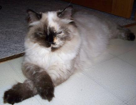 Annie a seal point tortie Ragdoll owned by Deb Noll Pictures of Ragdoll Cats With Their Paws Crossed