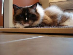 Charlie on the Square Cat Habitat Lo