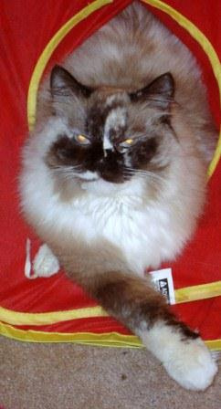 Domino loved by Kim Page Cronic Pictures of Ragdoll Cats With Their Paws Crossed