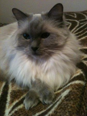 Heidi. She is the light of Connie Jackson and Shannon Jacksons lives. We have had her since October and just celebrated her 7th birthday. Pictures of Ragdoll Cats With Their Paws Crossed