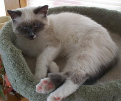 Maggie a blue mitted Ragdoll with a blaze owned by Deb Noll Pictures of Ragdoll Cats With Their Paws Crossed