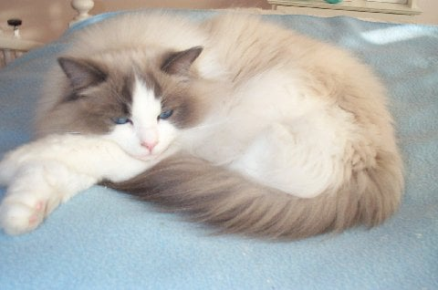 Nolte a Blue Bi color owned by Lynn F Pictures of Ragdoll Cats With Their Paws Crossed