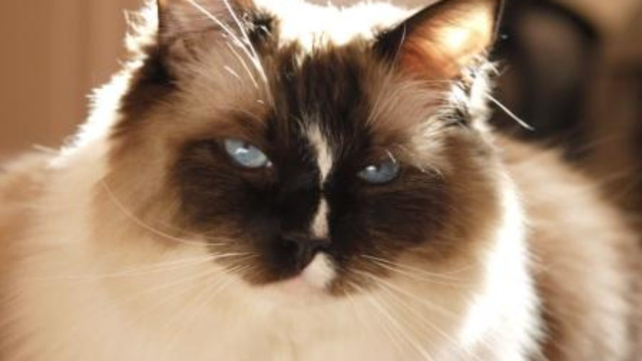 Ragdoll Cats   EVERYTHING You Need To Know About Ragdoll