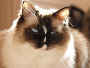 Ragdoll Cat Murphy as an adult