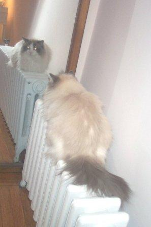 Nolte owned by Lynn Her mirror twin on the radiator. Does Your Cat Lay on the Radiator?