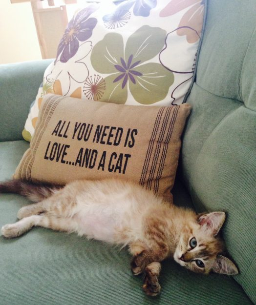 Ragdoll Kitten after being spayed