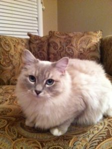 Ragdoll Cat With A Sensitive Stomach