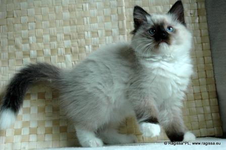 PL*Ragissa Jena owed by Izabela Kawecka of Ragissa Cats