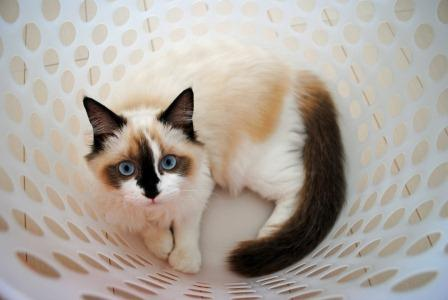 Coco RKOM 5 Pictures of Ragdoll Cats in Laundry Baskets