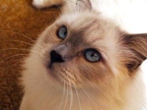 retired breeding ragdoll named Jaran (although we call him a bunch of different names, such as JaranBall, Ball, Mr Fluffypants, Bubbaloo and Mr Jaran)