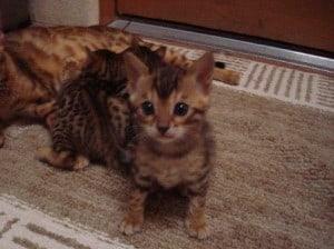 Sharon's Bengal Kitten