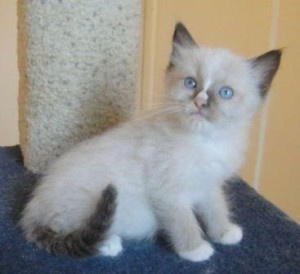 Sharon's Seal Mitted Ragdoll Kitten with a Blaze