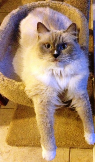 Zoe Blue mitted Ragdoll Cat with a Blaze 366x625 Ragdoll Cats with Blazes