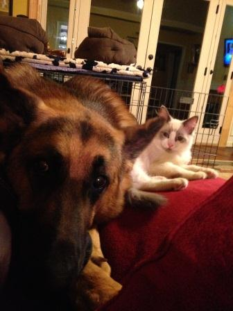 Mittermaier (GSD) and Voltaire (Ragdoll)
