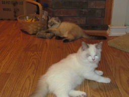 Chief now has a baby brother, Koda, who is a seal lynx ragdoll.