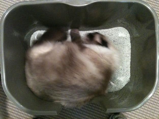 Caymus in NVR Miss Litter Box