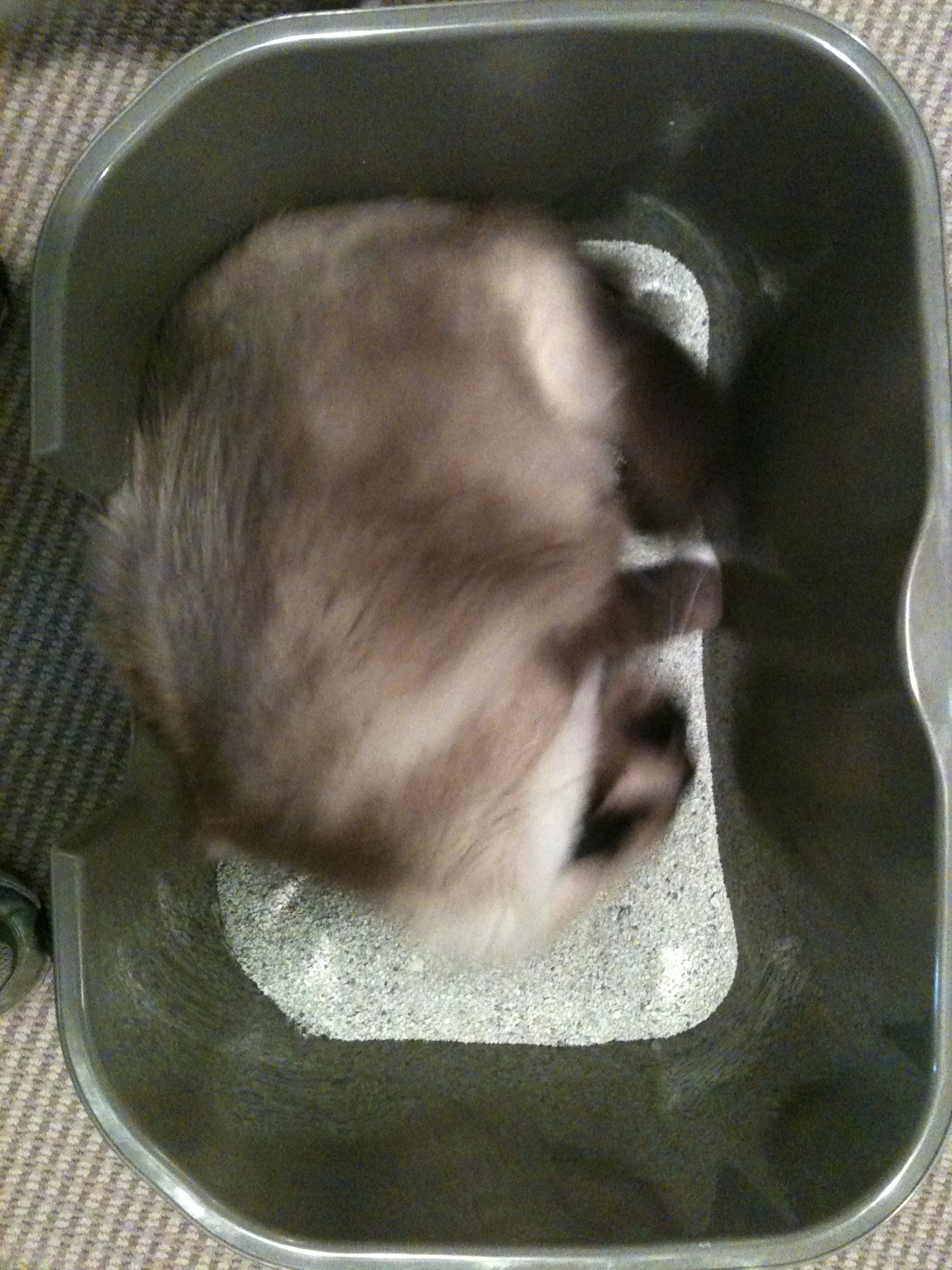 Why Do Cats Roll Around In A Litter Box