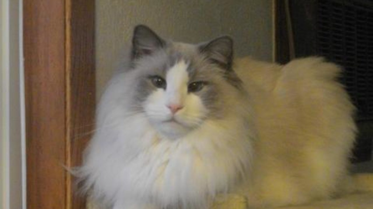 Ragdoll Rescue - Importance of Adopting Senior Cats