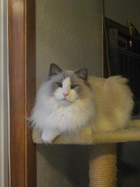 Ragdoll Rescue Importance Of Adopting Senior Cats
