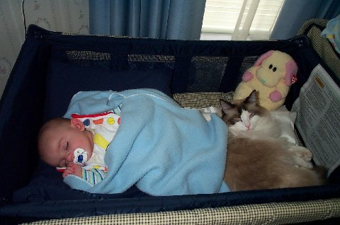 Lynn Freeman's Ragdoll Dinky back in 2000. My grandson's guardian angel.