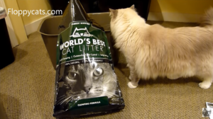 World's Best Cat Litter Forest Scented Clumping Cat Litter and Ragdoll Cats Review