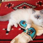 Kelchi – Ragdoll Kitten of the Month